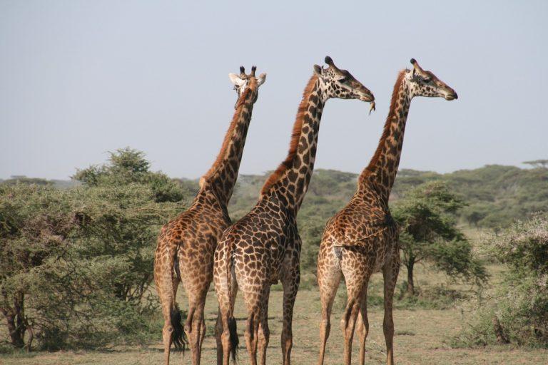 Giraffes Tanzania